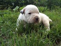 DOB May 28th and ready in July 23rd 4 males- available