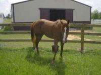 7 year old sorrel quarter horse mare that is bred and
