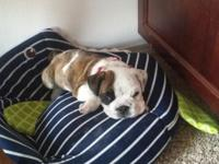I have a virtually 10 week old AKC English Bulldog