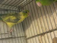 Special on breeding pairs of parrotlets 2 pairs of ds