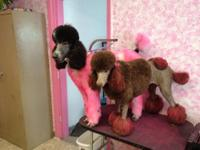 Litter of 7 Standard Poodle puppies born to chocolate