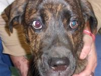 Primary Color: Brindle Weight: 32 Age: 0yrs 3mths 3wks