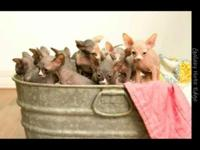 I have a beautiful selection of Sphynx babies available