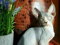 Beautiful 3 month old sphynx girl is looking a lovely