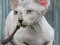 Jamillasphynx has 1 kitten available. She is a black