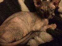 Stunning female Torti Sphynx kitten ready for a new