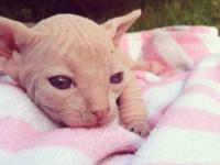Dorothy is a stunning cream Sphynx kitten from a high