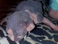 SPHYNX KITTENS New Litter. Only 1. Male left Showing 5/