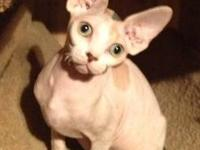 Sphynx kittens available from top show parents Breeder