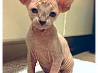 5 beautiful TICA registered sphynx kittens born October