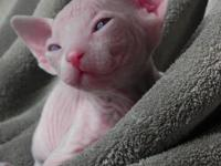 Jamillasphynx presently has sphynx kitties available.