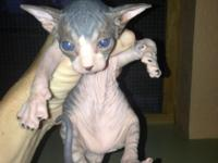 Male Sphynx kittens offered. Born May 6th and prepared