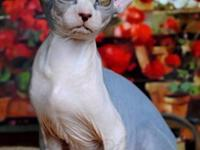 Beautiful Sphynx Kittens available now for adoption