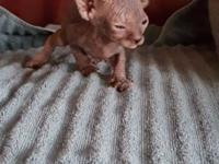5 sphynx kittens ready for deposits! Born July 3rd, mom