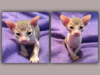 Sphynx kittens available in Four weeks! 1 black and