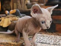 Sphynx babies for sale! Three boys and one girl left!