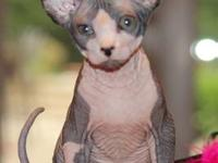 2 Purebred sphynx cats available female, 1 year old,