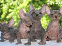 Sphynx Kittens Available Now Please visit our website