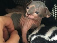 two week old sphynx kittens available. they are not
