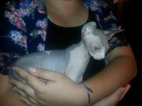 Beautiful playful Sphynx kittens ready for new homes