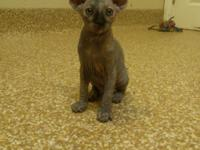 Sphynx kittens are available with great personality and