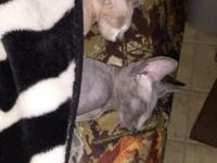 Two beautiful TICA registered sphynx kittens. They are
