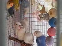 beautiful zebra finches and zebra white