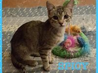 My story SPICY - F, Brown Tabby, approximately 3 1/2