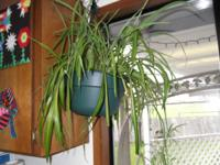 Very healthy (and I forget to water it) spider plant