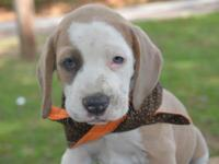 We have a beautiful litter of male beabull puppies. The