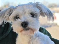 Spike's story Spike Lhasa Apso Mix Red Bluff, CA Young