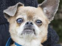 Meet Spike, a Chihuahua mix who is 8 years young. He