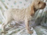 Tule Spinone pups available for show, working,