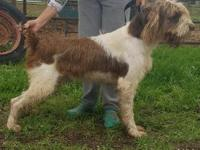 Tule Spinone pups available for show, working, copanion
