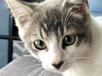 Spirit's story Spirit is a DSH Grey Tabby Male with