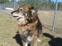 Spitz - Finn - Medium - Adult - Male - Dog
