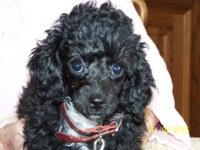 Black with White Chest Small Toy Female Poodle pup 10