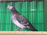Spook is an enigmatic little pigeon. She was rescued