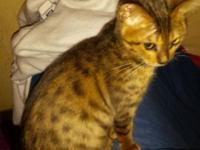 This is a spotted 16 week old bengal.He is pelted and