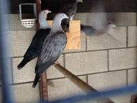 I have a male Spotted imperial pigeon available. It is