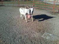 Miniature donkeys,lead,can pick hooves , do not kick or