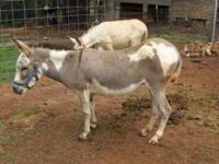 Registered spotted miniature donkey jenny, 6 years old,