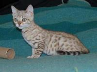 """Light Up My Life"" is a lovely snow Bengal male. He is"