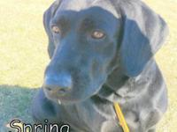 Spring Female Black Lab 3 Years Old Adoption fee $80