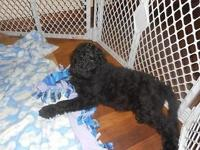 standard, multigen, 10 weeks old male,shots, wormed,