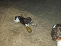 I have a very cute female springer brown white she had