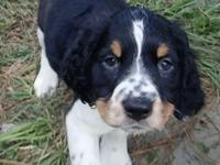 7 week old Springer Spaniel pups:  Charlotte: Black &