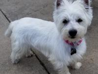 Sprinkles is a 10 month old purebred Westie recently