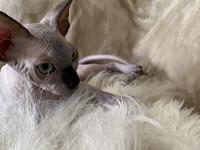 $1500 USD   Breed: Sphynx Sex: Male Champion