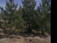 1-16 Foot Tall Colorado Blue And Blackhills Spruce